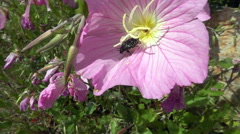 Beetle flying over a flower in slow motion - stock footage