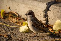 Sparrow basking in the sun - stock photo
