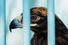 Large portrait of a hawk who sits in a cage Stock Photos