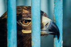 large portrait of a hawk who sits in a cage - stock photo