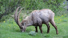 Male Alpine ibex grazing grass in the Alps in spring Stock Footage
