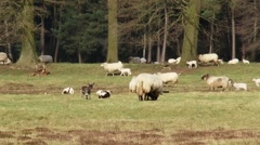 Flock of Schoonebeker heath sheep with frolicking lambs grazing heathland Stock Footage