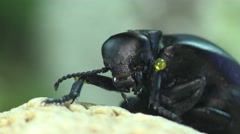 Big black bug insect, American Oil Beetles are type of Blister beetle, macro Stock Footage