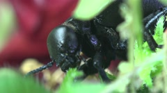 Big black bug insect, American Oil Beetles eating green grass, macro Stock Footage