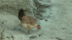 A chicken eating in the village - stock footage