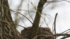 Thrush Fieldfare (Turdus pilaris) sits on the nest to incubate the eggs - stock footage