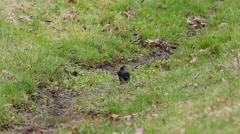 Starling (Sturnus vulgaris) splashing in a stream in spring Stock Footage