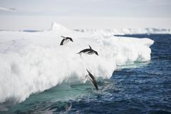 Adelie Penguin jump Stock Photos