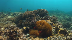 4k Tomato Anemonefish Stock Footage