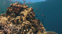 Coral reef with Anthias and Damselfishes Stock Footage