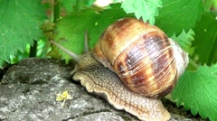 Roman Snail Stock Footage