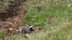 White Wagtail feathers clean and smarten up among the green grass Stock Footage
