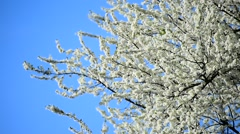 Blooming white cherry flowers - stock footage