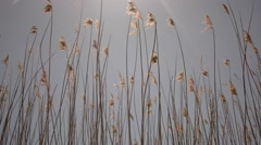 Tall reeds in the wind at noon Stock Footage