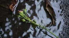 Roses falling in water on ground, victims of domestic violence, male chauvinism Stock Footage