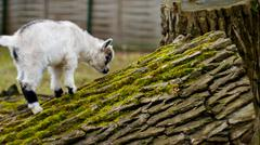 Adorable baby goat jumping around on a pasture - stock photo