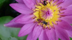 Close Up Bee Swarm Pink Lotus - stock footage