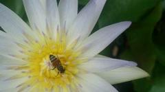 Close Up Bee Swarm White Lotus Stock Footage