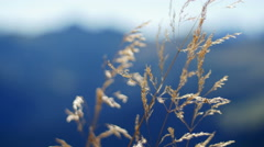 Summer wind moving grass with mountains in the background - stock footage
