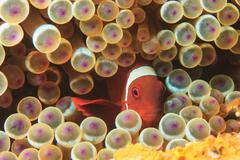 Anemonefish swimming in sea anemone Stock Photos