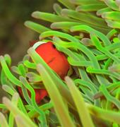 Clownfish swimming in sea anemone Stock Photos
