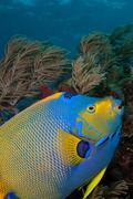 Queen angelfish and octocoral - stock photo