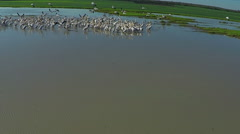 Aerial view flying Flock of Pelicans, Slow motion Stock Footage