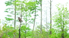 Barred Owl in Swamp Stock Footage