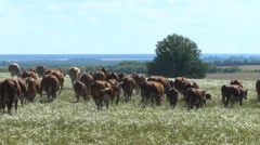 View of the Cow Herd. Cows in a Field. Herd of Cows. Livestock. Blue Sky, Sunny Stock Footage