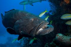 Tiger grouper amid other fish - stock photo