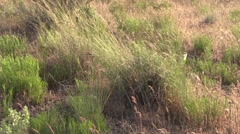 Central Oregon Grasses Pan Stock Footage