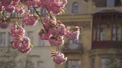 Sakura flowers hanging from a branch and fluttering as the wind blows - stock footage