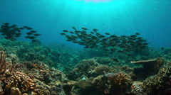 Coral reef with school of Striped Large-Eye Breams. 4k Stock Footage