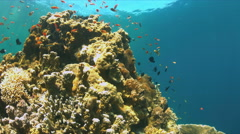 Coral reef with Anthias and Damselfishes. 4k footage Stock Footage