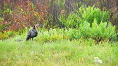 Wild Turkey Gobbler Gobbling Stock Footage