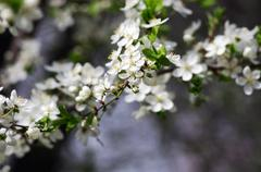 Spring blossom background - abstract floral border of green leaves and white  - stock photo