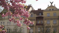 Pink Sakura hanging from a branch in Prague in spring 2016. Stock Footage