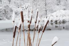 Close up of snowy reeds Stock Photos