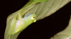 Male Fleischmann's Glass Frog (Hyalinobatrachium fleischmanni) calling Stock Footage