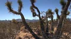 Joshua Tree Swaying in the Desert Breeze Stock Footage