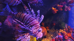 Shoal of Pterois or Lionfish in deep undersea coral reef Indo-Pacific ocean - stock footage