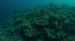 Whitetip reef shark 4k Stock Footage