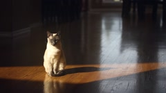 Siamese Cat Sitting in a Sliver of Sunlight Stock Footage