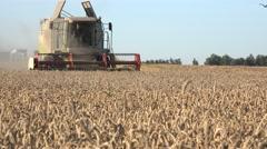 Farmer drive in combine harvester in triticale wheat field. 4K Stock Footage