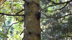 Woodpecker Pecking on a Tree Trunk Stock Footage