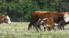 Calf and Cows in a Field. Livestock. Herd of Cows go to Right. Cows Movement Stock Footage
