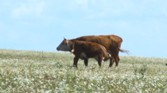 View of Cow and Calf in a Field. Cow Calf Feeding. Livestock. Blue Sky, Sunny Stock Footage
