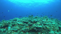 Redfin Breams on a Coral reef. 4k Stock Footage