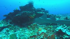 Nurse shark on a coral reef. 4k - stock footage