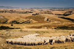 Flock of sheep feeding in Tuscan field, Italy - stock photo